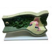 Model structura frunzei imagine librariadelfin.ro
