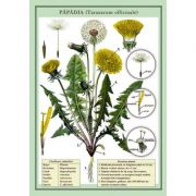 Plansa - Papadia (Taraxucum officinale) imagine librariadelfin.ro