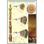 Plansa dubla - Structura tulpinei la plantele lemnoase/ Structura varfului de radacina imagine librariadelfin.ro